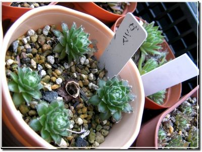 2010_1113sempervivum03.jpg