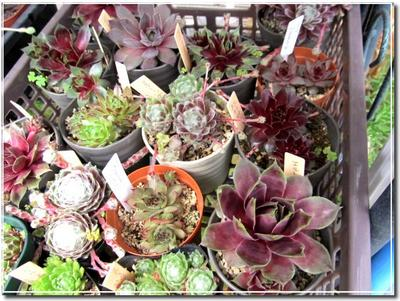 2011_0508sempervivum.jpg