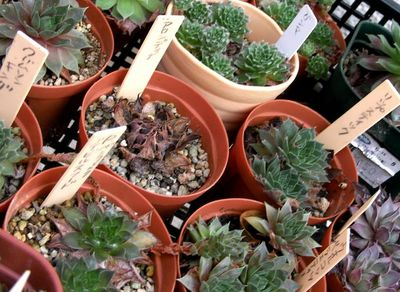 2011_0918sempervivum01.jpg